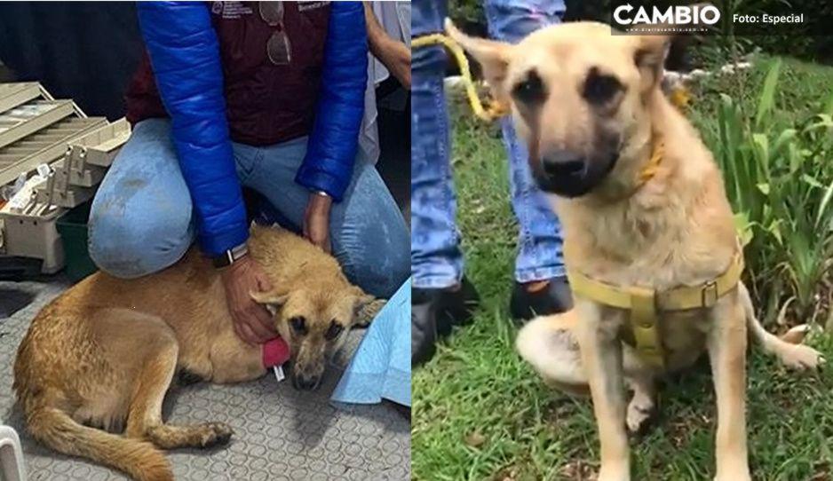 Ella es Spike, la perrita que sobrevivió al socavón y ahora busca un hogar