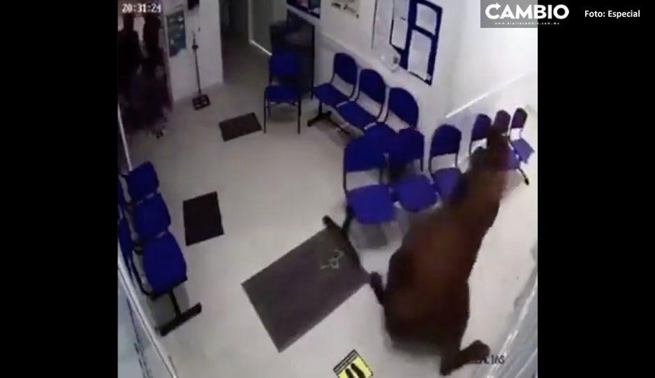 VIDEO: ¡Terrorífico! Vaca se mete a hospital Covid y embiste a todos los pacientes