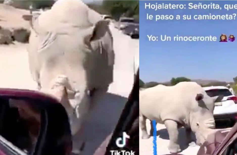 Rinoceronte causa pánico en Africam Safari, así asustó a familia (VIDEO)