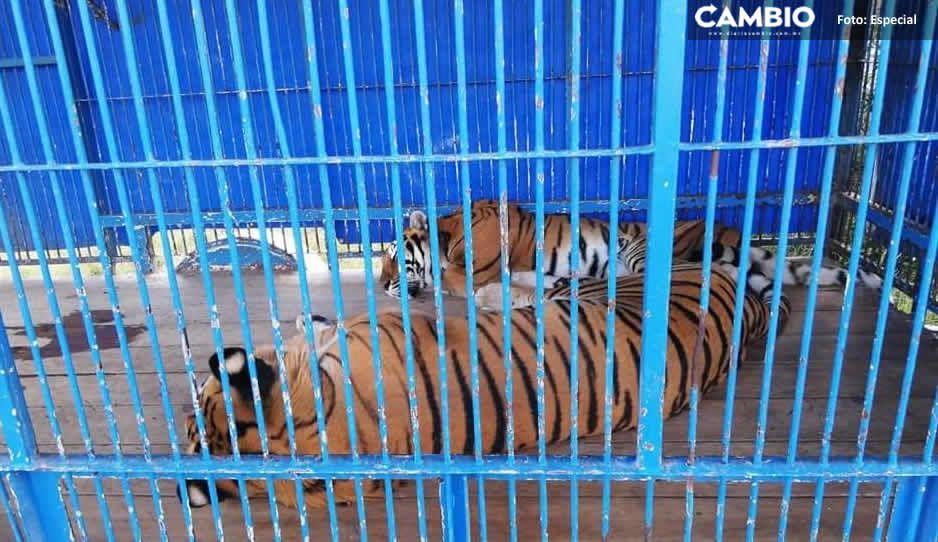 """En condiciones deplorables, así vivían animalitos decomisados del """"Circo Franzatti"""" en Tehuacán"""