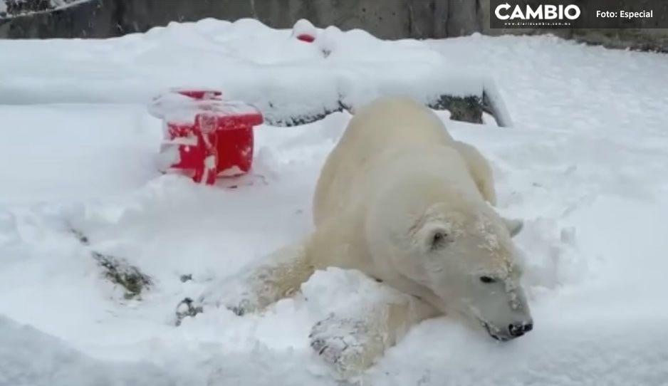 VIDEO: ¡Qué juguetón! Oso polar se divierte en la nieve que dejó tormenta de EU