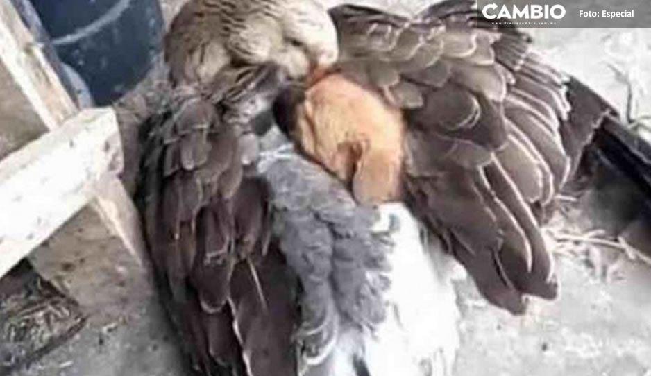 ¡Lo más tierno del día! Pato protege con sus alas a cachorro abandonado
