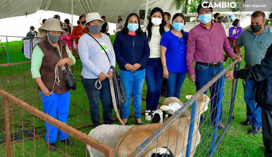 Entrega Lupita Daniel 300 cabezas de ganado ovino a familias vulnerables en Cuautlancingo