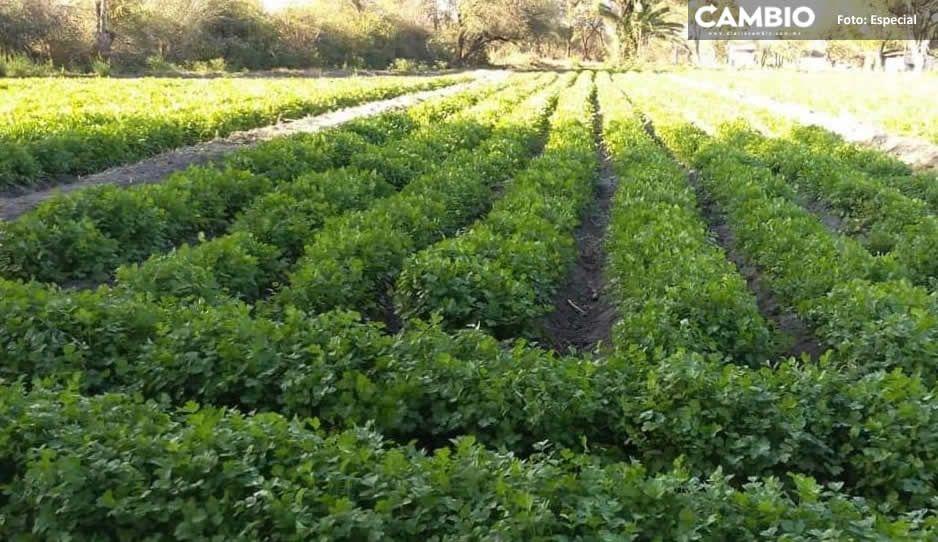 Puebla deja de producir cilantro; les prohíben utilizar aguas negras para regar cultivos