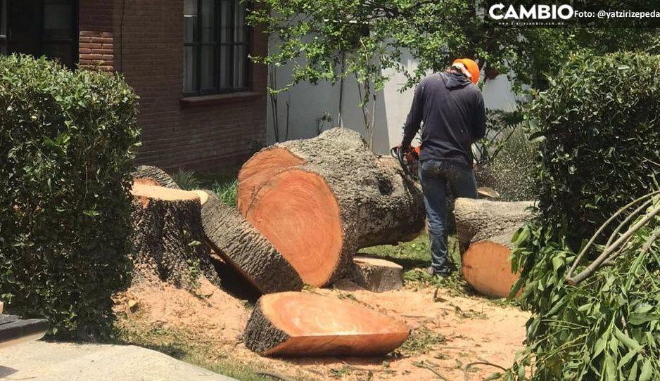 UDLAP ecocida: talan más de 30 árboles en la zona de residencias universitarias (FOTOS)
